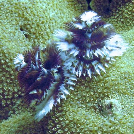 Wakatobi Dive Resort: Christmas Tree worms