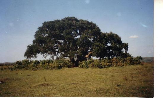 Uganda: Bugona Cultural Tree