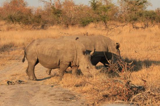 Skukuza Rest Camp : Rhinos in Kruger