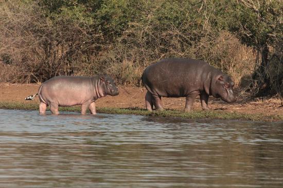 Skukuza Rest Camp: Kruger Hippos