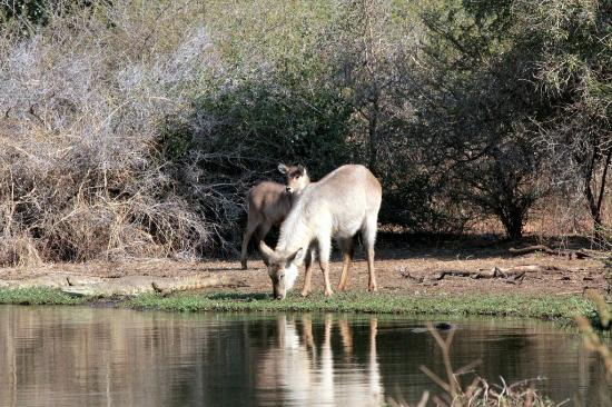 Skukuza Rest Camp: Waterbuck in Kruger