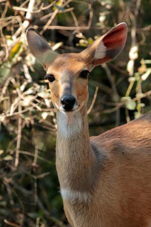 Skukuza Rest Camp: Antelope species in Kruger