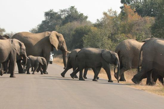 Skukuza Rest Camp: Elephant herd