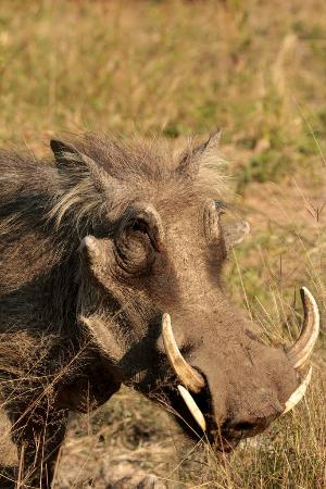 Skukuza Rest Camp: Kruger wildlife - warthog