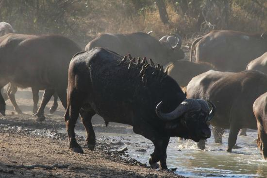 Skukuza Restcamp: Cape Buffalo
