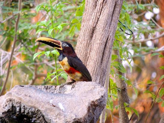 Pantanal: toucanette