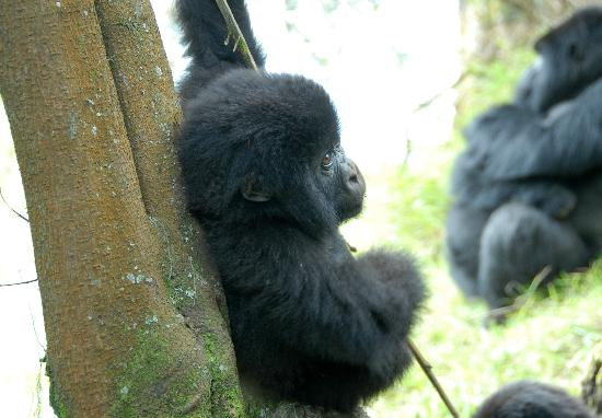 Sabyinyo Silverback Lodge: this small 3 month old Mountain gorilla played blissfully with a pace of us; Dad sat by ambivale