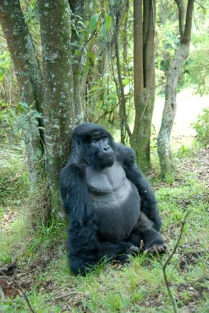 Sabyinyo Silverback Lodge: In the Blue Corner weighing in at mere 285kg - son of the dominant Silverback of the Umabano fam
