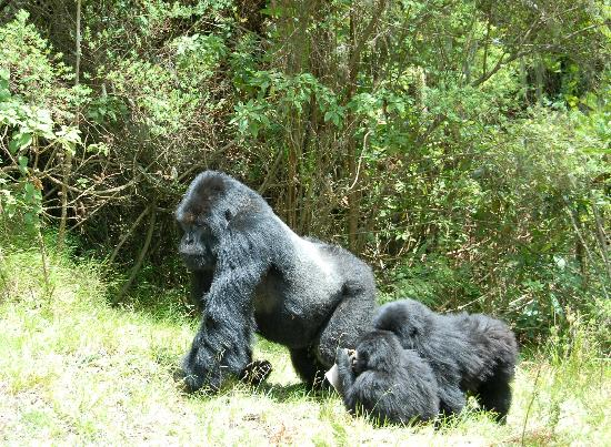 Sabyinyo Silverback Lodge: Charles the Umubano family silverback on the move with his youngsters