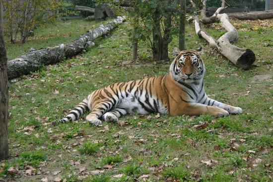 Parco Zoo Punta Verde : tigre siberiana