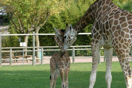 Parco Zoo Punta Verde : giraffe