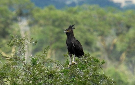 Ishasha Wilderness Camp: Crowned Eagle - again, a very robust population of these raptors in QEII
