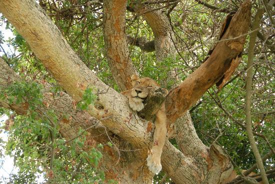 Ishasha Wilderness Camp: ah ha - a tree snoozing lioness