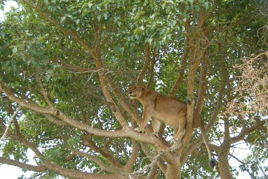 Ishasha Wilderness Camp: up, alert, assessing a potential warthog meal ... tree climbing lioness