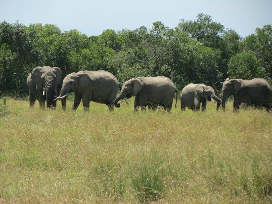 Ol Pejeta Bush Camp, Asilia Africa: Elephants on parade
