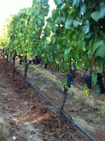 White Rose Estate: Pinot grapes