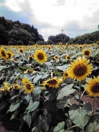 Akebonoyama Agricultural Park: 背丈2m以上のひまわり