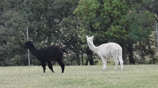 Silos Estate: Alpacas