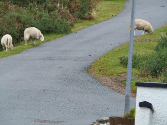 Tingle Creek Hotel: Sheep on the driveway