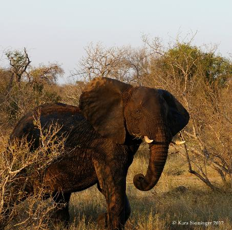 Pondoro Game Lodge: bull elephant
