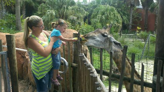 ‪‪Tampa's Lowry Park Zoo‬: Feeding the camel