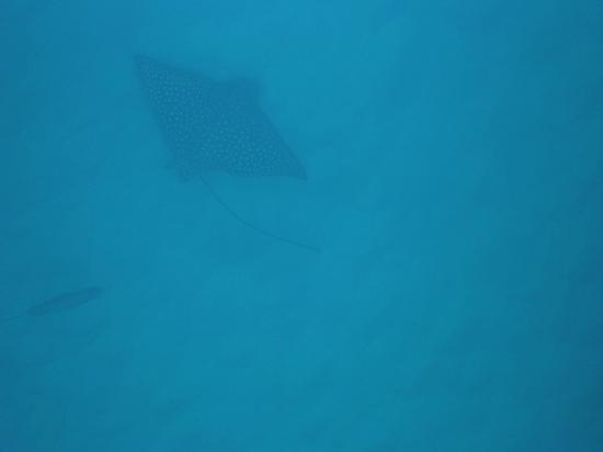 Ko Olina Ocean Adventures: a ray!