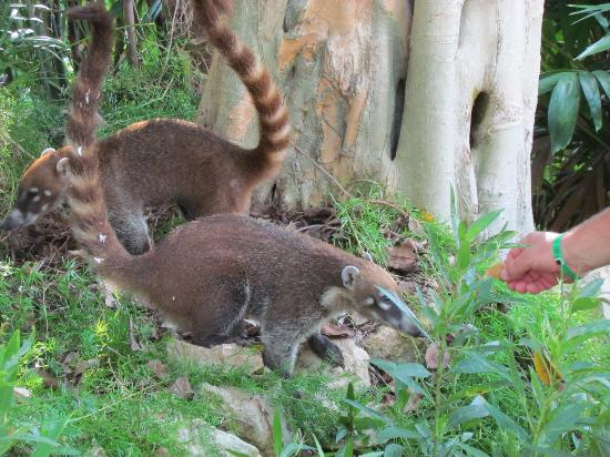 Allegro Playacar: Pair of coatimunis