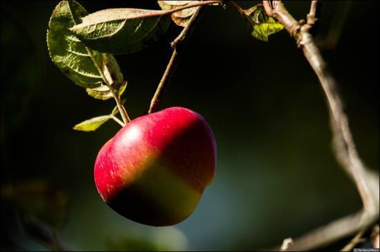 Eco Escape : Apple Tree