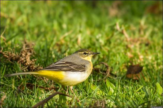 Eco Escape : Grey Wagtail