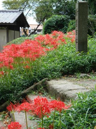 Shomyo-ji Temple: lycoris in September