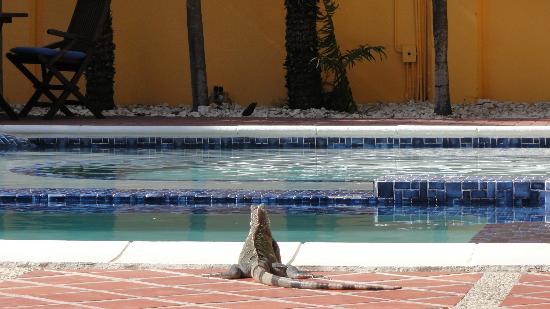 El Encanto Boutique Hotel: Tame iguana