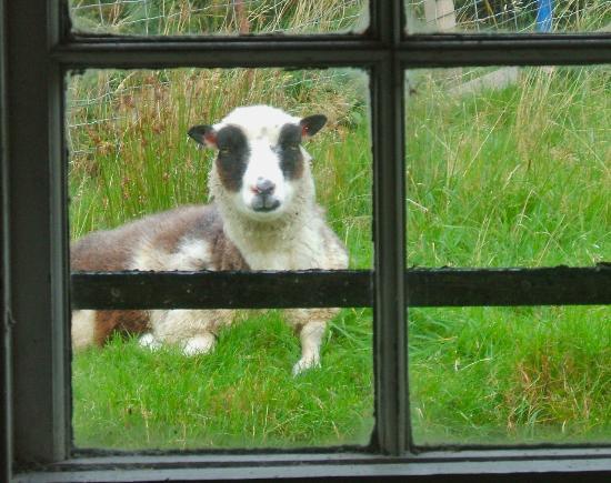 Auchindrain Highland Farm Township: Friendly Shetland sheep
