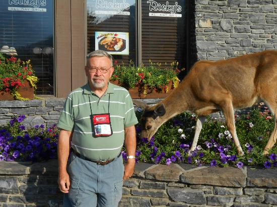 Banff Ptarmigan Inn: Deer not afraid of traffic or people to eat flowers & bushes