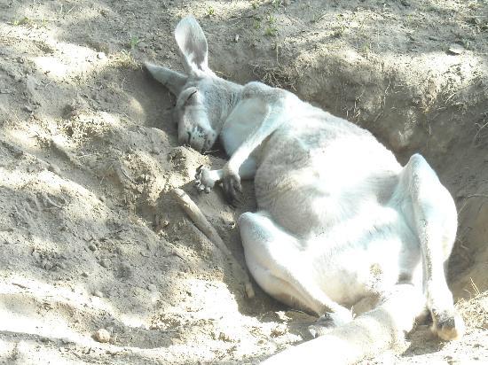 Timbavati Wildlife Park: Kangaroo chilling