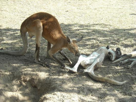 Timbavati Wildlife Park: Kangaroos