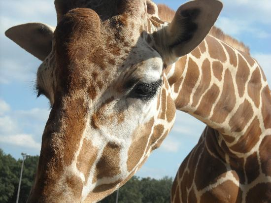 Timbavati Wildlife Park: Up-Close Giraffe