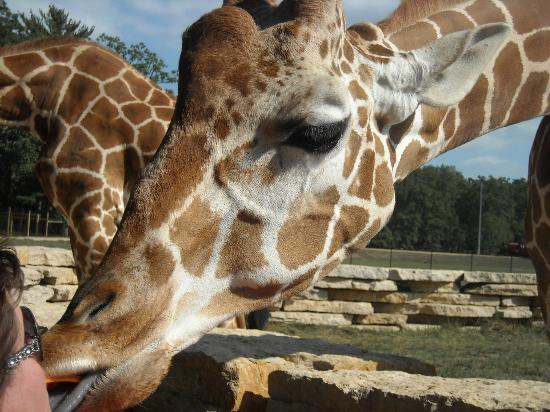 Timbavati Wildlife Park: Giraffe feeding on carrot from mouth