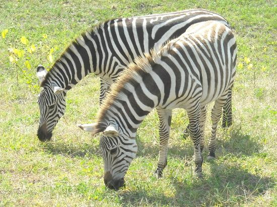 Timbavati Wildlife Park: Beautiful Zebra