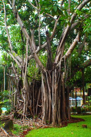 Matabungkay Beach Resort & Hotel: tree by the pools