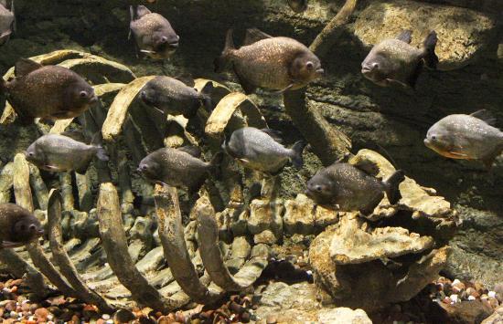 Piranha picture of dubai aquarium underwater zoo for Piranha fish tank