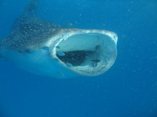 Reethi Beach Resort: Whale skark!