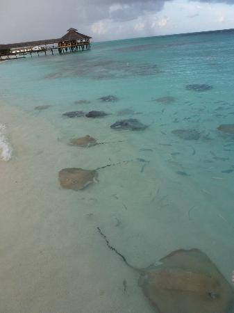 Reethi Beach Resort: Go snorkeling near the Jetty around 5 p.m. - the space is filled with rays because of the feedin