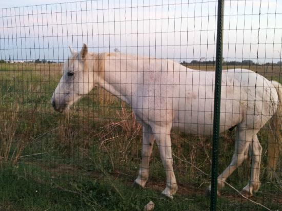 Jasses De Camargue: A curious and friendly Camargue Horse