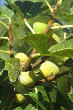 El Cielo de Canar: Ripe figs - delicious