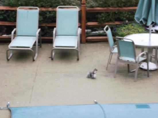 Woodwards Resort & Inn: Cheeky squirrell at the outdoor pool