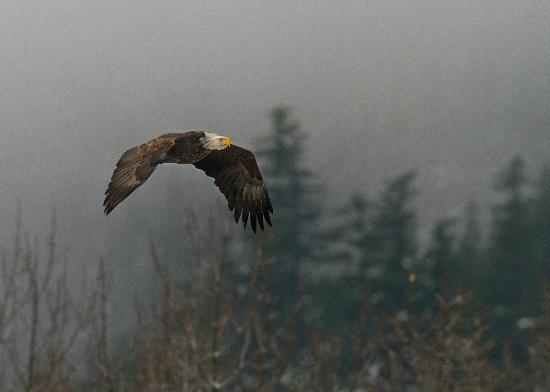 Squamish Rafting: Another Eagle Soaring