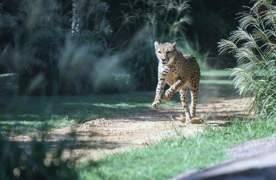 บุช การ์เด้นส์: Cheetah Running
