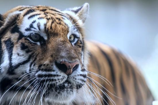 Busch Gardens: Tiger