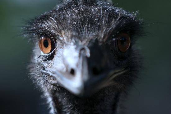 Busch Gardens Tampa: Emu
