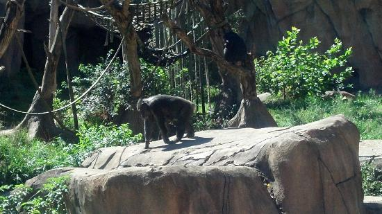 St. Louis Zoo: Chimpanzees